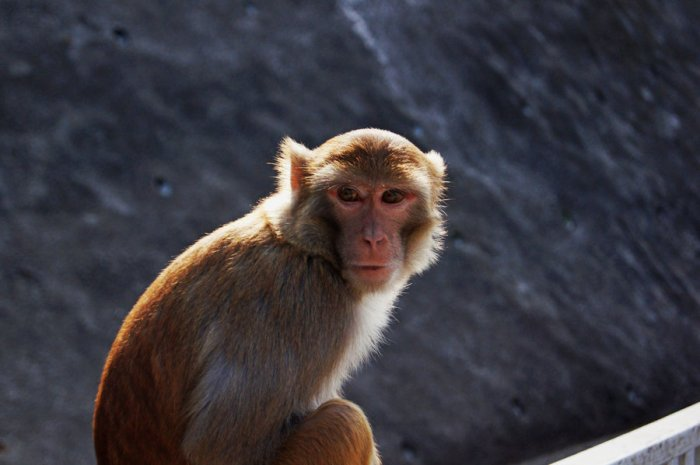 "Rhesus macaques are one of the least endangered, most familiar of the ""old world"" monkeys, and are known for their intelligence and their social bonds (image: ""carcoalfeather"", deviant art)"